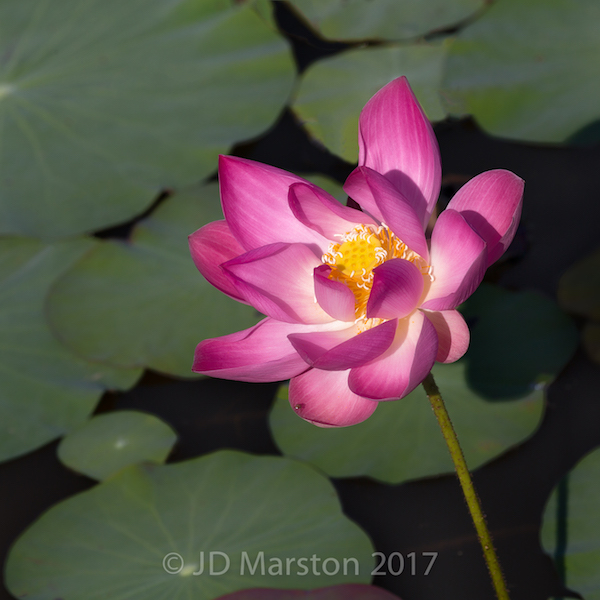 Lotus, nelumbo, pink #9